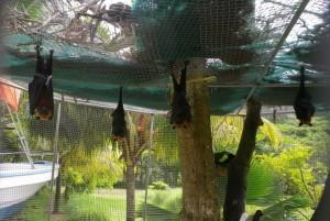 Puuviljanahkhiired ehk lendrebased jõudehetkel.