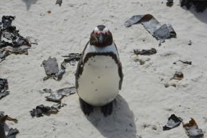 Pingviin turisti uudistamas